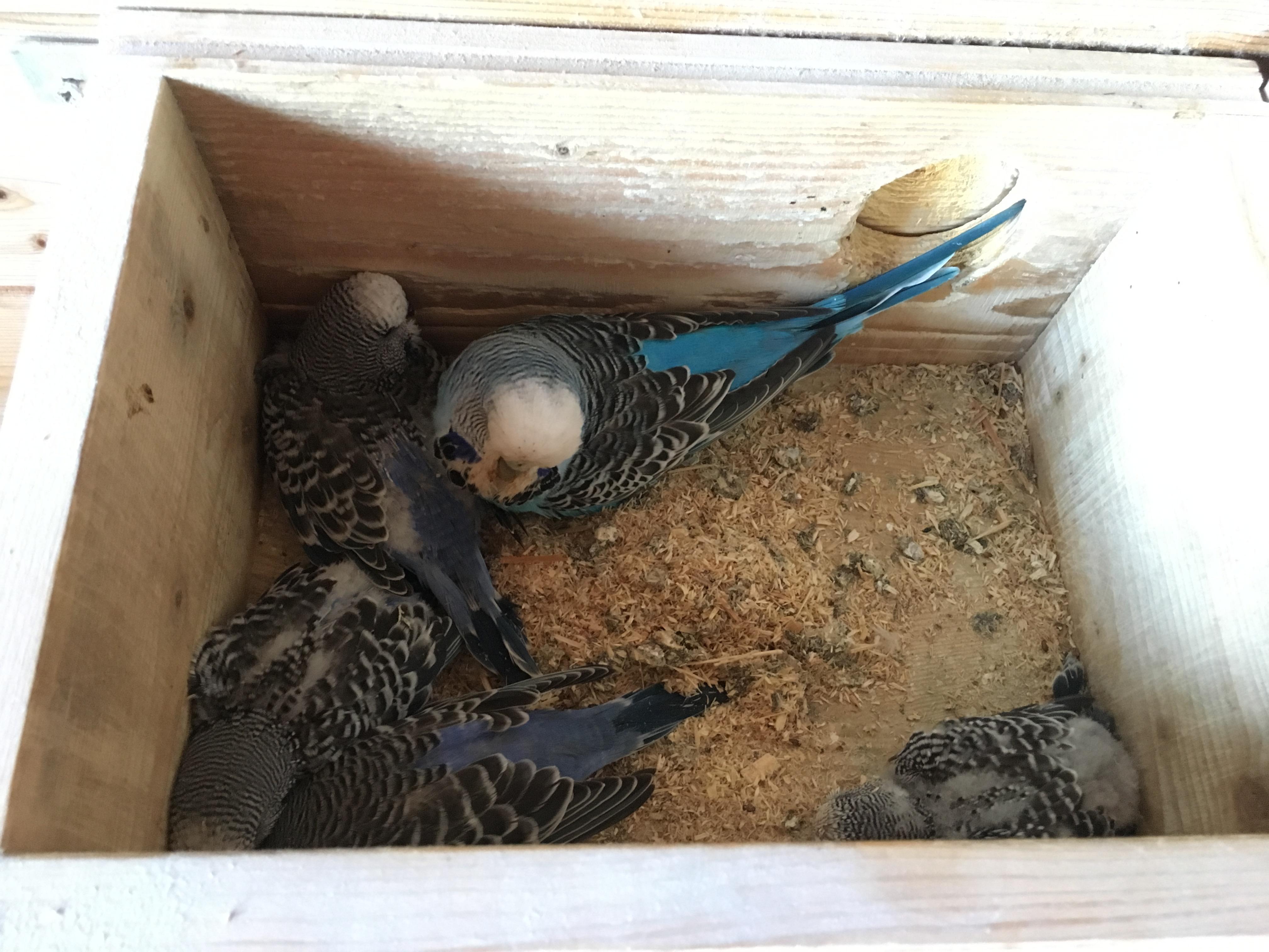 Ein Blick ins Nest mit Jungvögeln und Mama