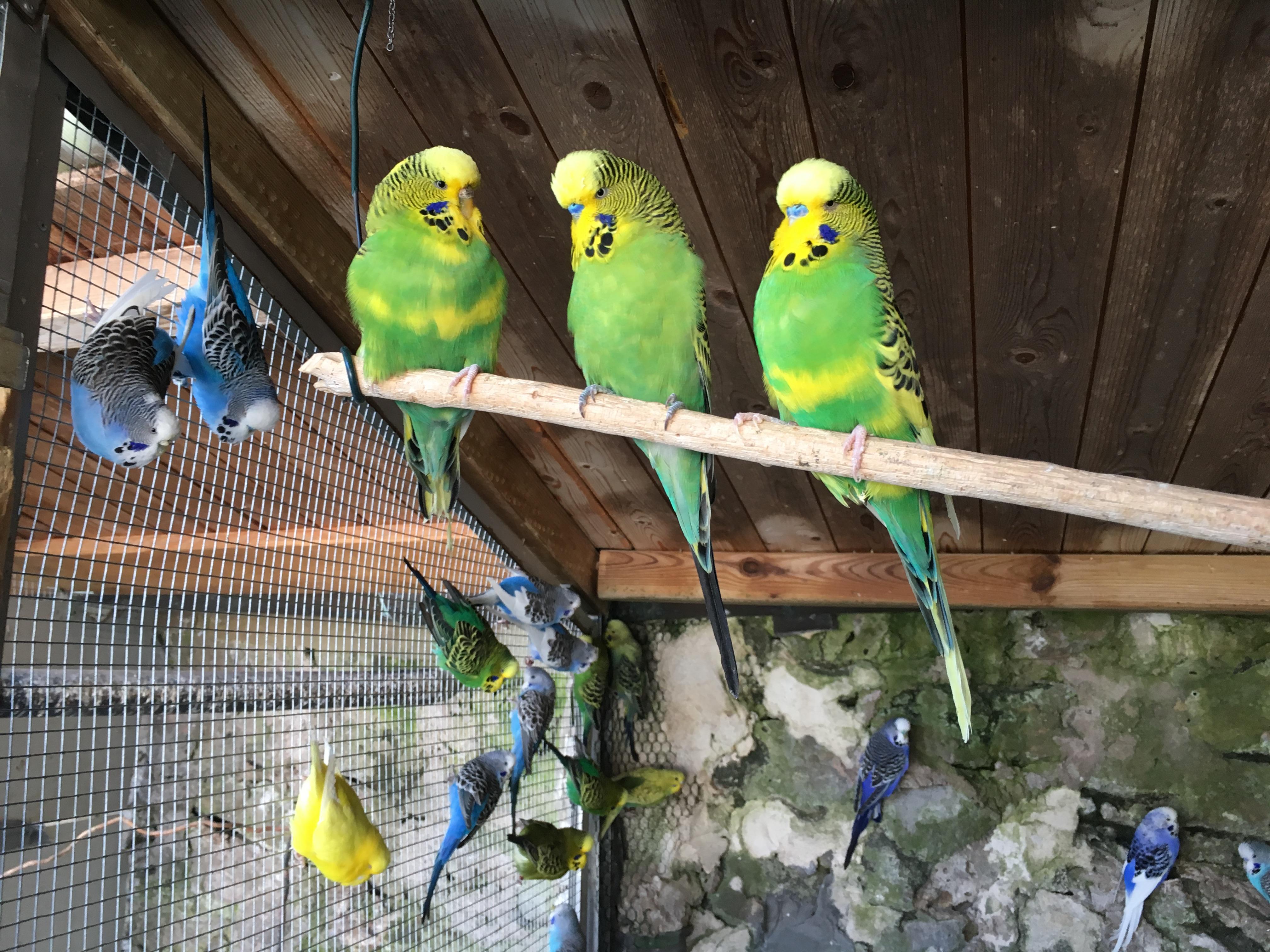Grüne Männchen (blaue Nase) und ein Weibchen (braune Nase)